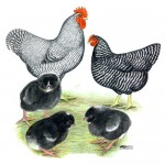 Barred-Rock-Chickens-150x150