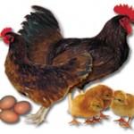 Rhode-Island-Red-Chicken-150x150